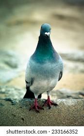 pigeon rocky unturned. Shallow depth of field