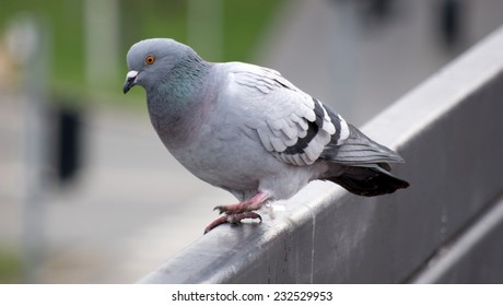 Pigeon running away, ready to fly