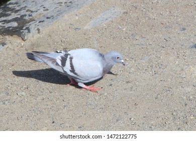 Pigeon searching food on the bank of a lake