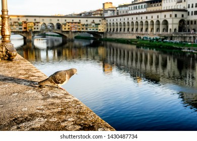 The pigeon sits on a stone promenade near Old bridge Ponte Vecchio with colourful buildings houses and its reflection in the river Arno in Florance, Tuscany, Italy. April 2012