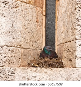 Pigeon Sitting on a nest in an alcove of the church windows