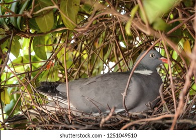 pigeon sitting on a nest with eggs in a bush closeup