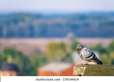Pigeon sleeping on the edge on top of the tall building