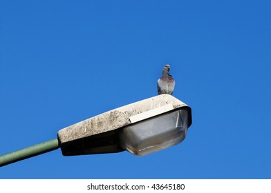 Pigeon standing on a lamppost