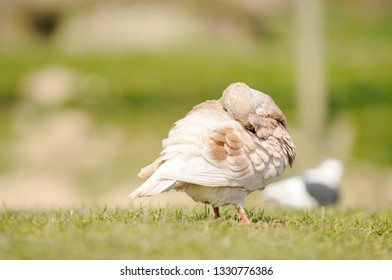 pigeon standing on meadow