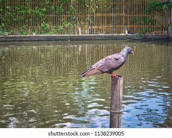 Pigeon Standing On Wooden Pole