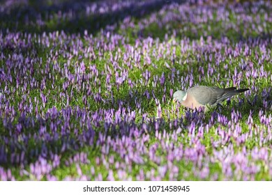 A pigeon is standing in the sunshine on the grass with flowering purple crocuses