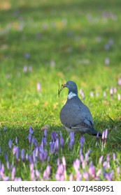 A pigeon is standing in the sunshine on the grass with flowering purple crocuses with a twig in its beak for nesting materials