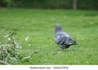 A pigeon strutting through some green grass.