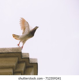 Pigeon taking off from pagoda roof