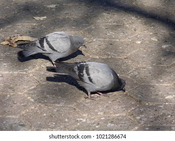 the pigeon that tries to eat the piece of bread on the ground,