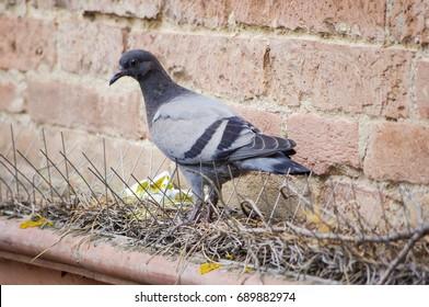 Pigeon Repellent Images, Stock Photos & Vectors   Shutterstock