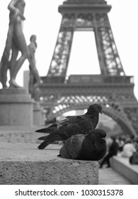 Pigeon at the Trocadero in Paris with Eiffel Tower in Background