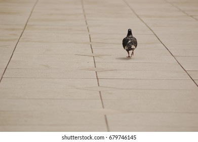 Pigeon Walking Alone on the Pavement