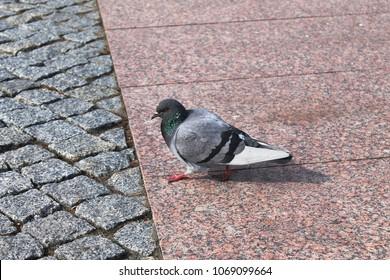 Pigeon walking along a granite tile - Shutterstock ID 1069099664