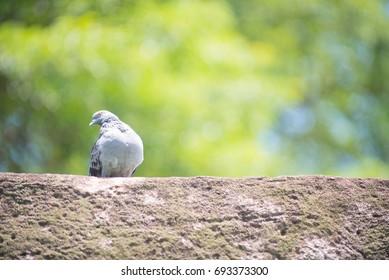 pigeon,dove