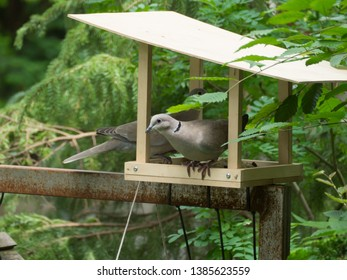 Pigeons in the bird feed house