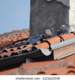 Pigeons (Columbidae) are standing on the roof covered with orange tiles.