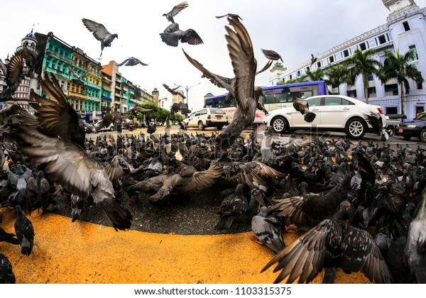 Pigeons crowd on road surface feeding on food at Sule Pagoda Yangon Myanmar Burma
