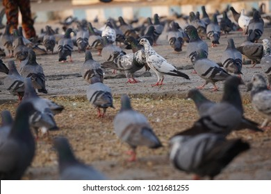 "Pigeons and doves constitute the bird family Columbidae and the order Columbiformes, which includes about 42 genera and 310 species. The related word ""columbine"" refers to pigeons and doves. Pigeons a"