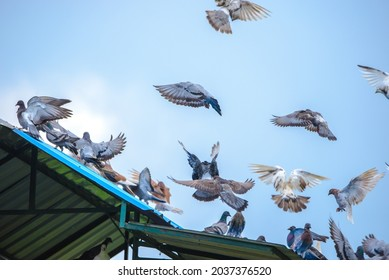 """Pigeons and doves are stocky birds with short necks and short slender beaks. The species commonly known as """"pigeon"""" is the wild rock pigeon, commonly used in many cities."""