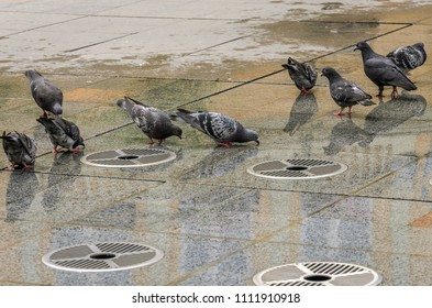 Pigeons drink water from an idle urban fountain