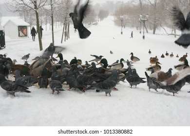 Pigeons and ducks in the park in winter