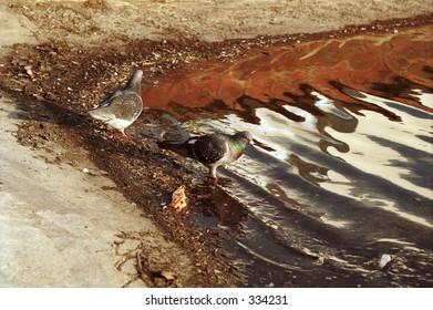 pigeons at edge of pond