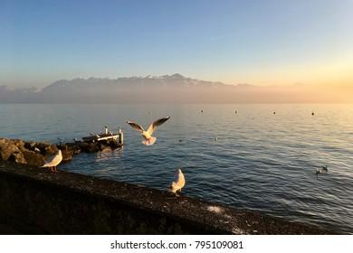 Pigeons flying at Geneva lake