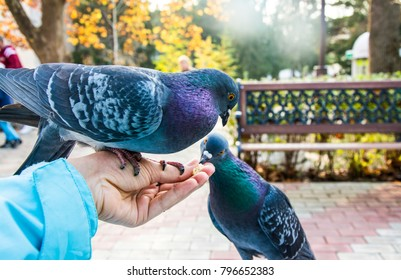 Pigeons. A girl is feeding pigeons on a city street.