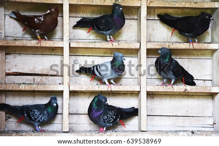 pigeons in the loft