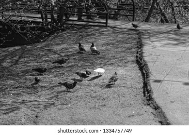 Pigeons looking for food in the ground