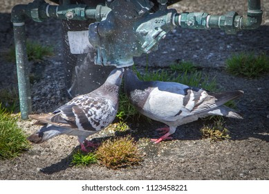 Pigeons Looking for Water During a Drought