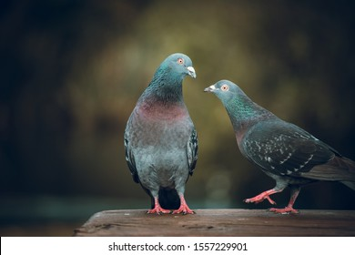 Pigeons love. Two Pigeons in love in park