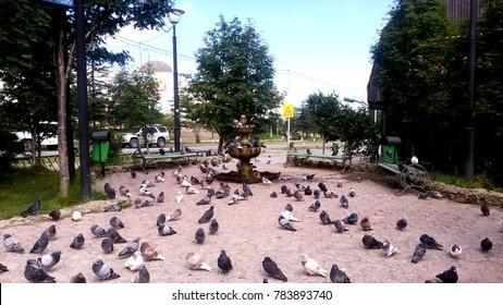 Pigeons in Magadan