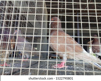 Pigeons Market traditional in Asian. Pigeons in cages at pigeon market. Pigeons competetion. Pigeon in metal cage. Outdoor sale of pigeons.