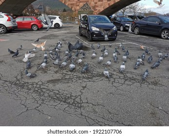 A lot of pigeons on a parking lot