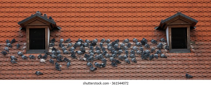 pigeons on the roof (building vandals)