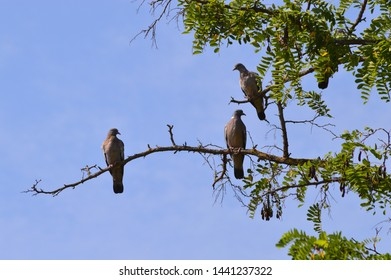 Pigeons on tree branch at sunset in the field