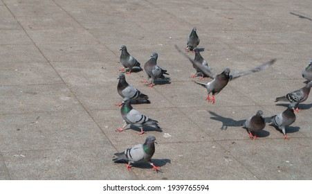 Pigeons in the park eating sunflower seeds. A flock of pigeons looking for food in the park. A flock of pigeons flying away.