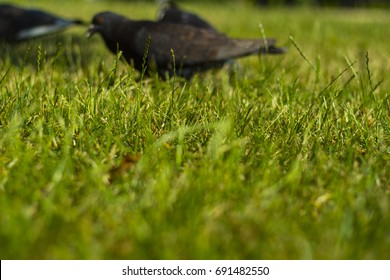 Pigeons relaxing on the grass