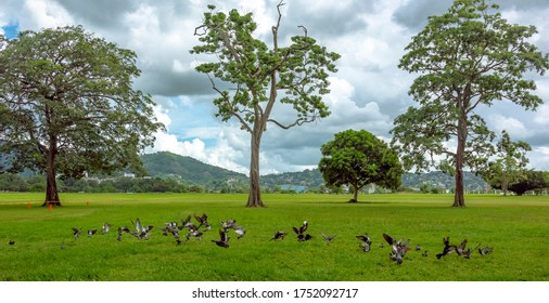 Pigeons settle on the green grass of the Queen's Park Savannah during the rainy season in Port-of-Spain, Trinidad