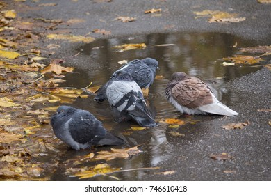 Pigeons are sitting near a puddle with fallen leaves. Birds