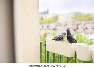 Pigeons sitting on the balcony pots, view of the roofs of urban buildings in the background.