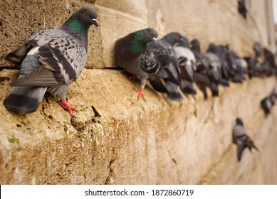 pigeons waiting on the historical building wall. Herd of pigeons waiting by the wall together.