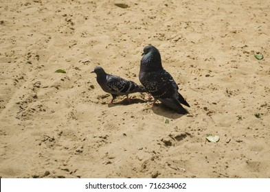pigeons walking on the sand, summer Sunny day