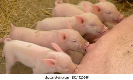 Piggies drink milk from sow. Group of little pigs. Breeding of livestock at farm. Hogs grown for meat.
