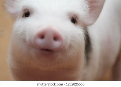 piggy close-up. portrait of a cute pig. Piglet is smiling
