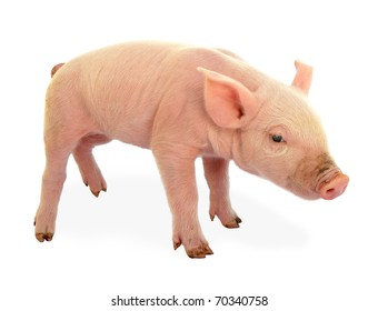Piglet baby pig