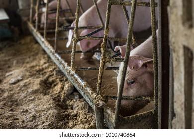 Piglet feeding indoor traditional farm, Breeding pig